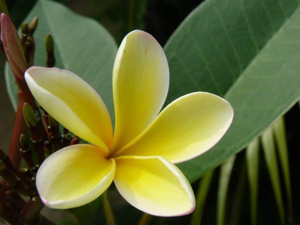 Цветокплюмерии, такжеизвестнойкак