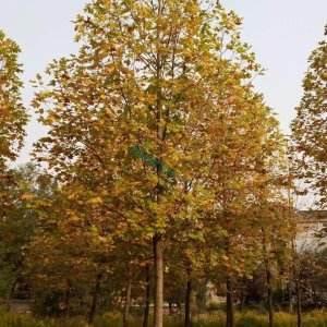 雜交馬褂木