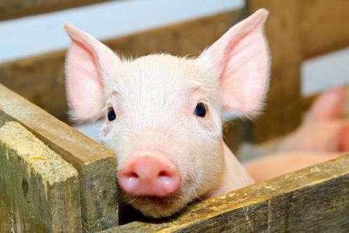 今日生猪价格多少钱一斤?专家:预计2021年猪价向下走