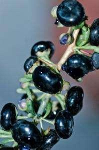 products goji berry black lycium, lycium ruthenicum murr berrie