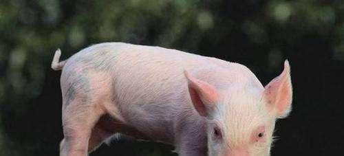 2021年属猪生肖的运程(2020年属猪的财运和运气如何)-第2张图片-天下生肖网
