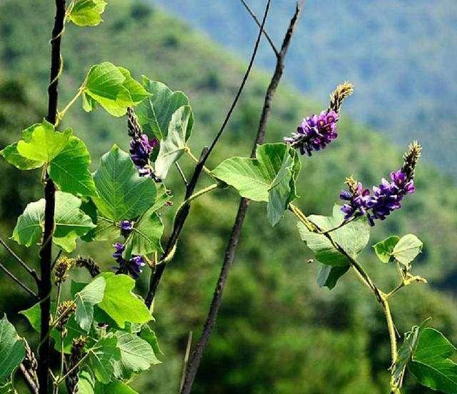 pueraria seeds