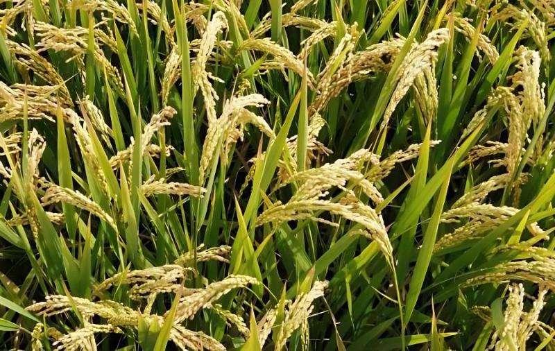 水稻生育期天数怎么算 水稻生育期分为几个时期及时间